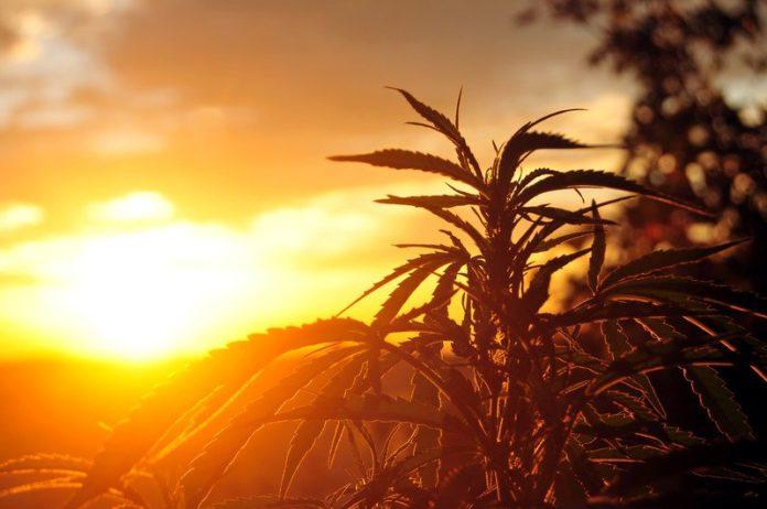 Silhouette of marijuana plant at sunrise