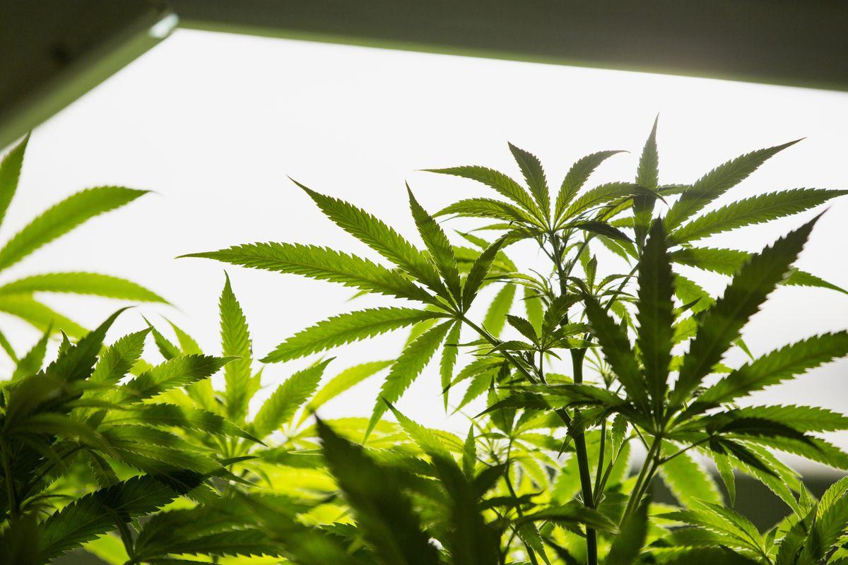 Colorado Auctions fundraising marijuana-themed license plate
