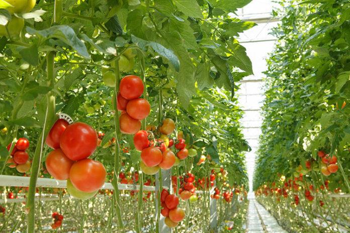 Schartner Farms' giant tomato greenhouse makes sense for Exeter - ecoRI News